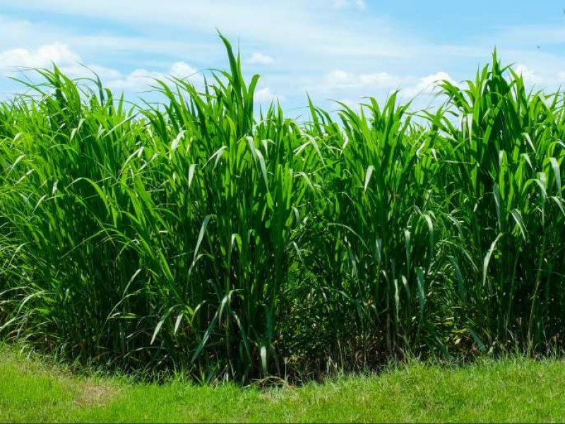 Sugar cane PLA